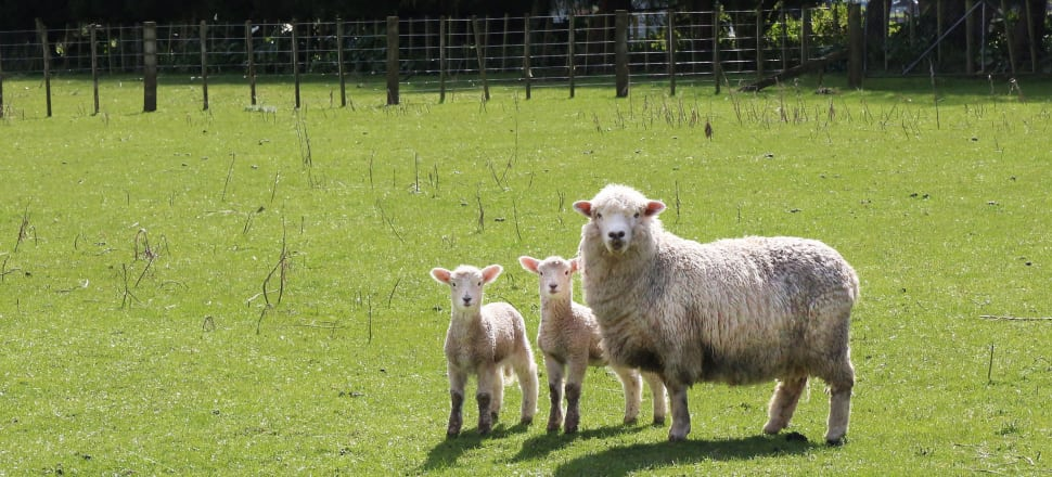Pāmu is taking a 35 percent stake in a specialist spray drying facility to develop sheep milk and other specialty powders for the Chinese market.Photo by Lynn Grieveson