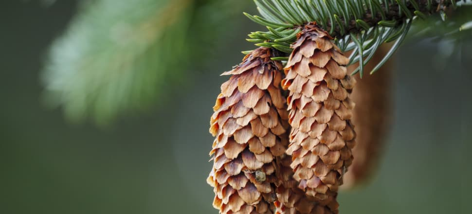 A mature Douglas fir can produce 20,000 seeds a year. Photo: Getty Images