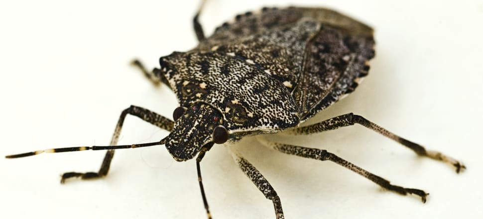 Australia's biosecurity has caught a ship contaminated for stinkbug bound for New Zealand. Photo: Getty.