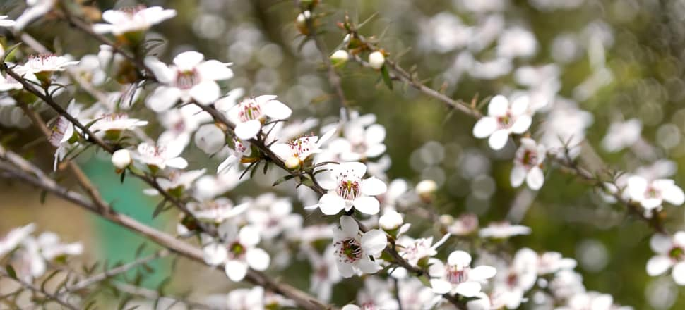 Botanists say enthusiasm for mānuka planting for honey is getting ahead of scientific understanding. Photo: Getty Images
