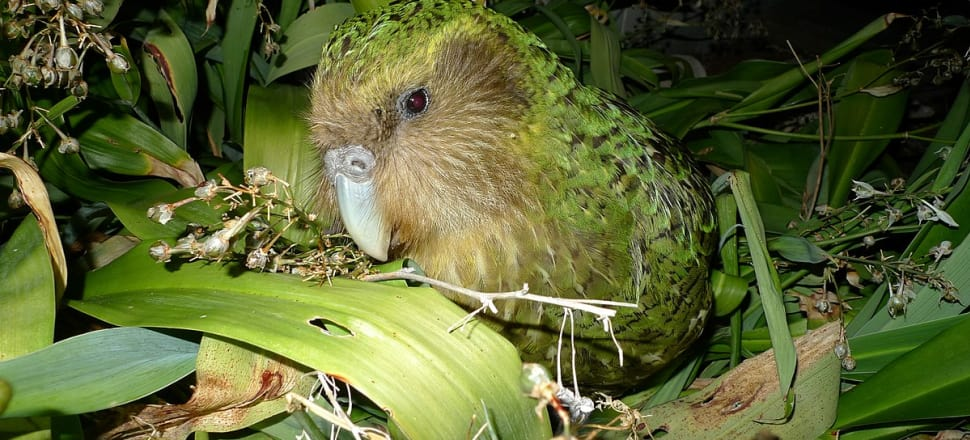 "Only 149 kākāpō remain in New Zealand. Photo:  <a rel=""nofollow"" class=""external text"" href=""https://www.flickr.com/people/40456023@N03"">Department of Conservation</a> - <a rel=""nofollow"" class=""external text"" href=""https://www.flickr.com/photos/docnz/8528623525/"">Kakapo Sirocco</a>, <a href=""https://creativecommons.org/licenses/by/2.0"" title=""Creative Commons Attribution 2.0"">CC BY 2.0</a>"