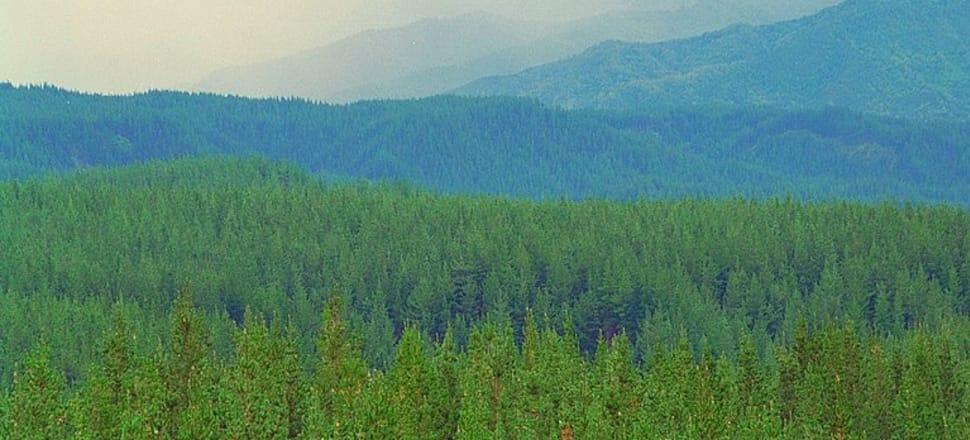 Tarawera forest near Kawerau. Photo: Getty Images