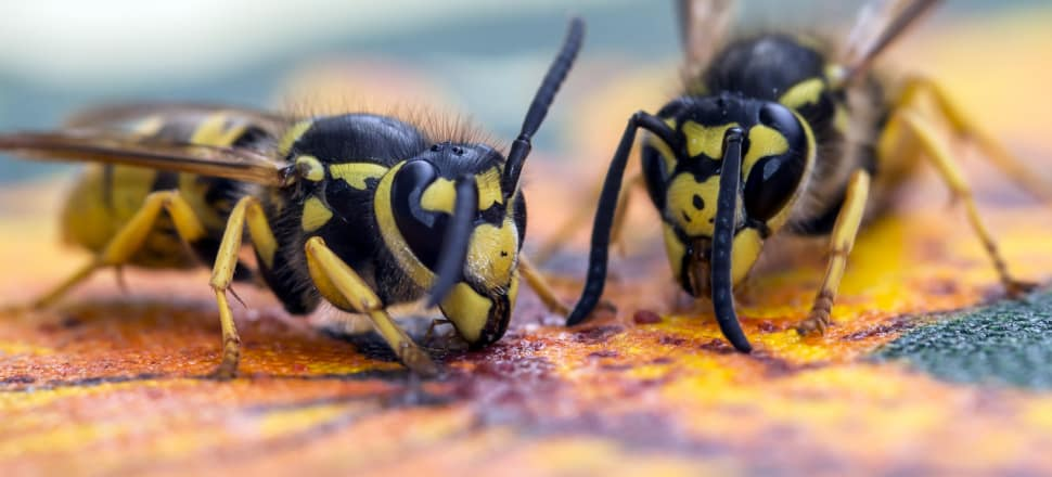 New wasp-busting methods include transgenic creatures that destroy their own kind. Photo: Herman Pijpers