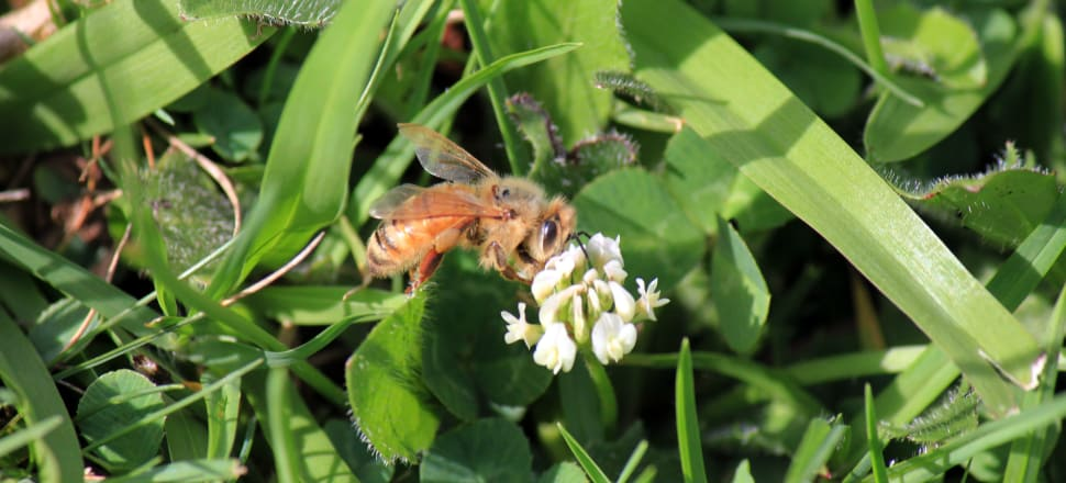 Honeybees might be good for clover but more research needs to be done to understand their impact on native species. Photo: Farah Hancock