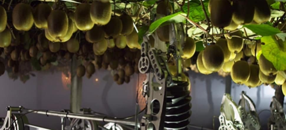 Kiwifruit-picking robots have to be able to move around an orchard finding fruit and then work out the size and shape of each one, so they don't damage the product. It's a tricky job. Photo supplied.