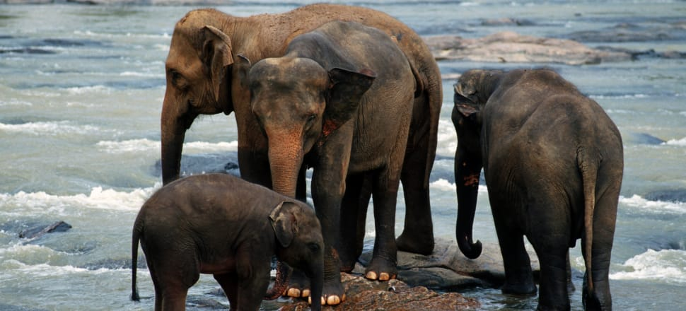 Elephants at the Pinnawala Elephant Orphanage in Sri Lanka, where baby Nandi remains with an uncertain future. Photo: Getty Images