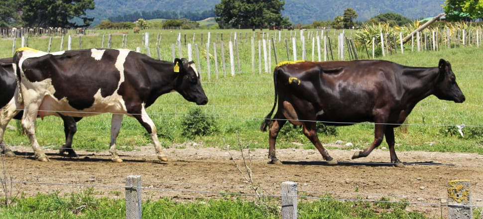 MPI has confirmed 17 farms have been infected by mycoplasma bovis and traces need to be done on the stock movements to and from nearly 1000 farms. Photo: Lynn Grieveson
