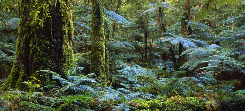 Ngāti Whare want to return land used for plantation pine forest back to the way it was in the time of their tīpuna. Photo: Getty Images