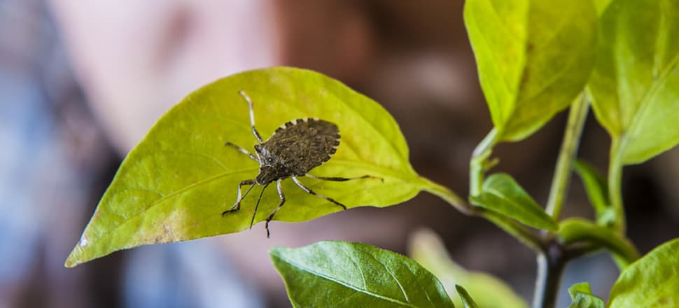 The brown marmorated stink bug presents a serious threat to important food crops around the world. Photo: Oregon State University CC-BY-SA 2.0