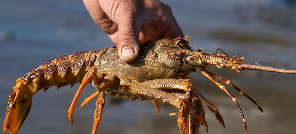 New Zealand is one of only a handful of countries in the world that ban boiling live crayfish. Photo: Getty Images
