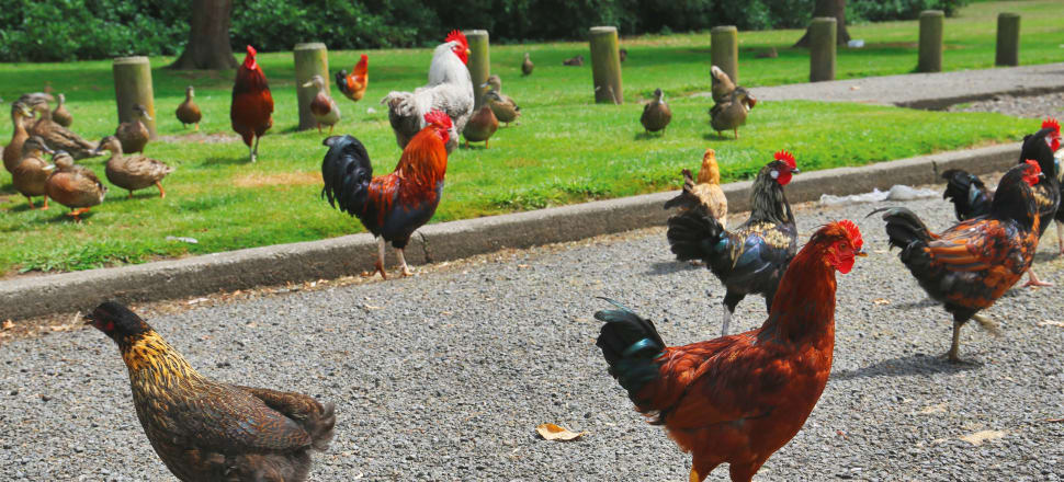 The trouble with releasing chickens into the wild
