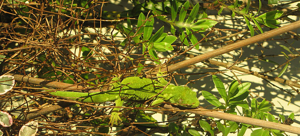 The Marlborough green gecko is facing extinction from predators and habitat loss. Photo: Department of Conservation