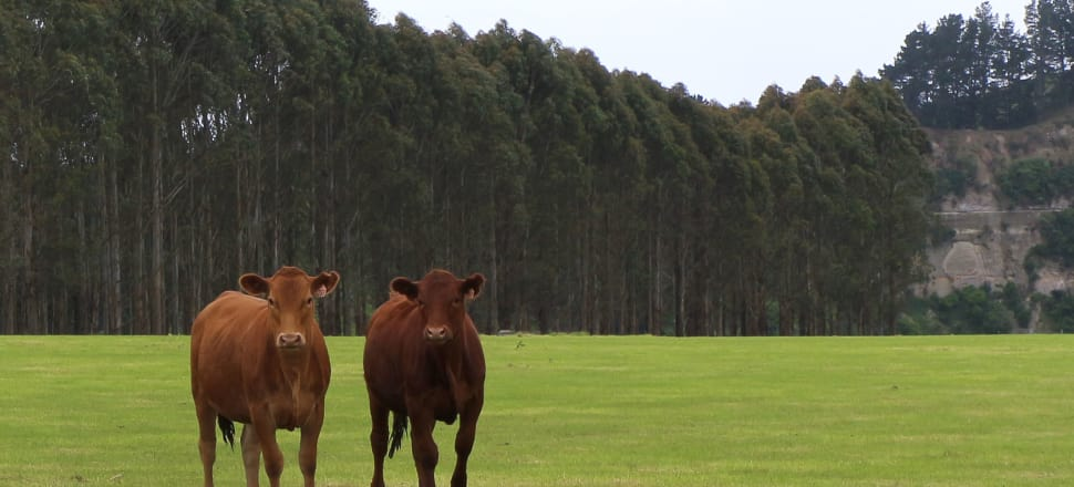Landowners have been incentivised to remove forests in favour of dairy. Photo by Lynn Grieveson