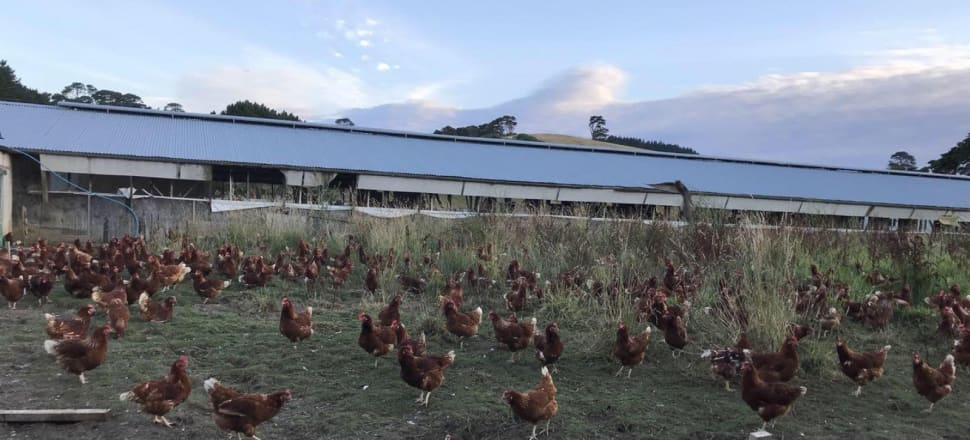 The Gold Chick farm in Henderson Valley, West Auckland. Photo: Supplied