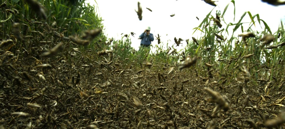 Locusts swarming in New South Wales wheat fields. Photo: NICK MOIR / Getty Images