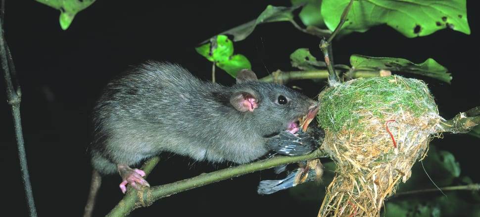 A ship rat attacks a fantail nest. Photo: Nga Manu Images
