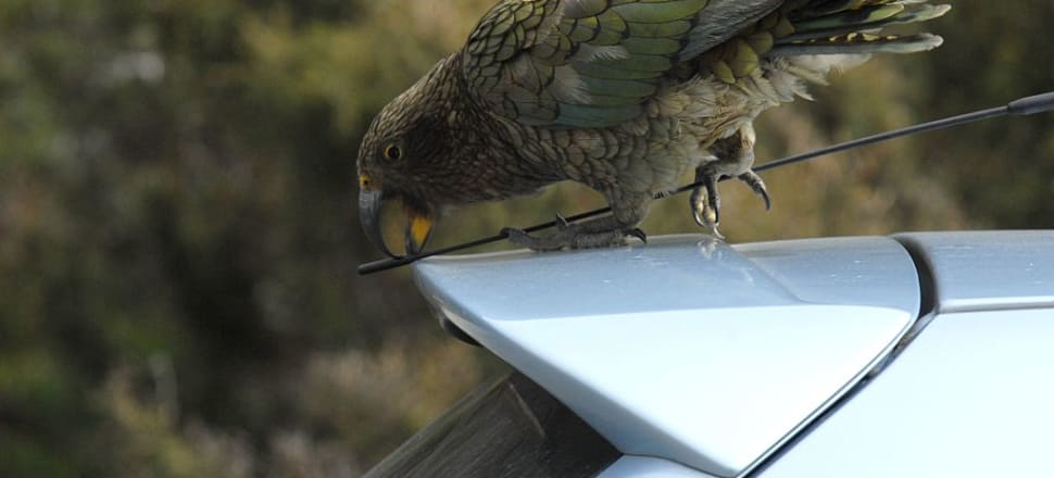 New Zealand birds, including our cheeky alpine parrot the Kea, could soon be gone. Photo: Getty Images