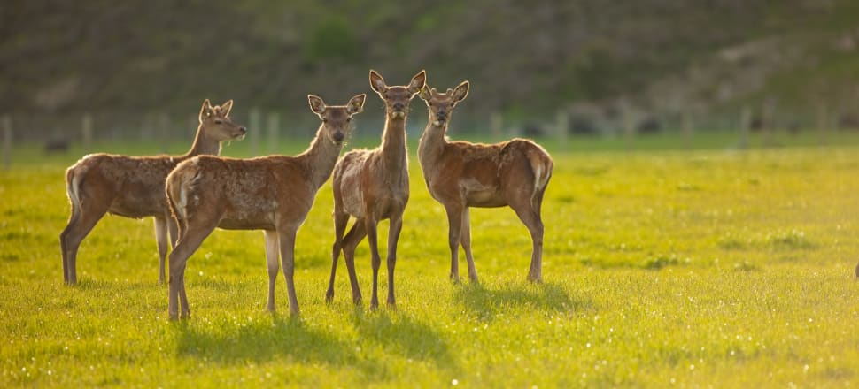 Deer milk has beaten cow, sheep and goat milk in early blind taste tests. Photo: Getty Images