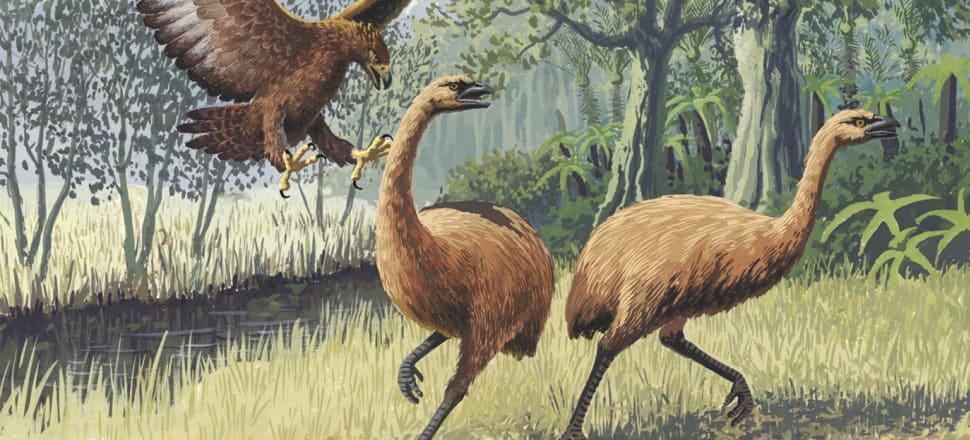 Unlike Moa, deer have no non-human predators in New Zealand. Image:  John Megahan CC BY 2.5