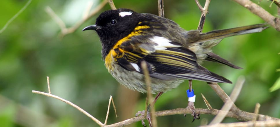 The male hihi or stitchbird. Photo: Duncan Wright CC BY-SA 4.0