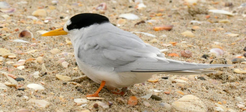 Fewer than 40 adult fairy tern remain. Only three eggs hatched this breeding season. Photo: Tergiversation CC BY-SA 4.0