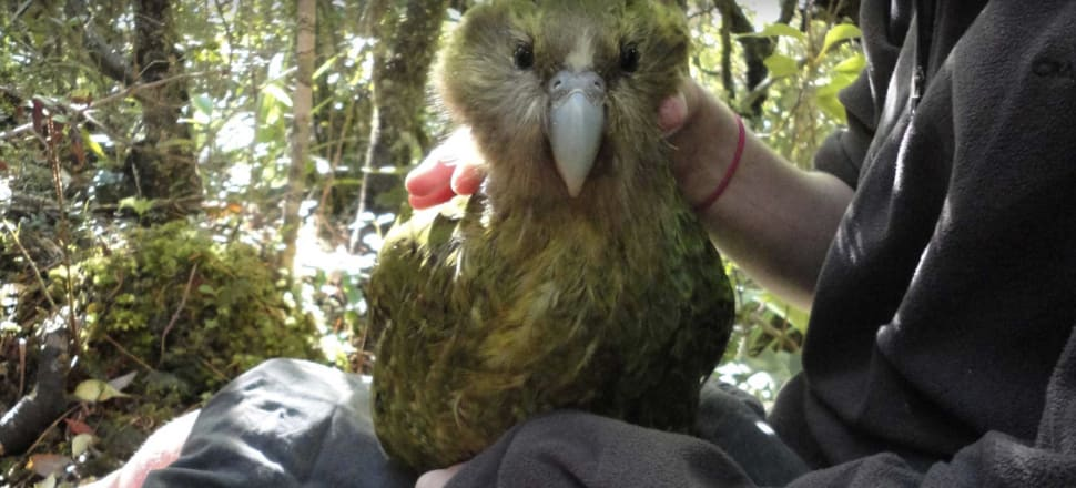 Auckland Zoo is pitching in to save the kākāpō. Photo: Auckland Zoo