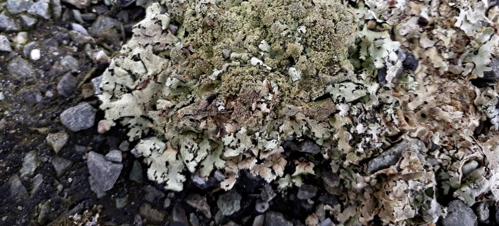 Sexy pavement lichen may contain more than users realise. Photo: Peter de Lange, iNaturalist, CCO