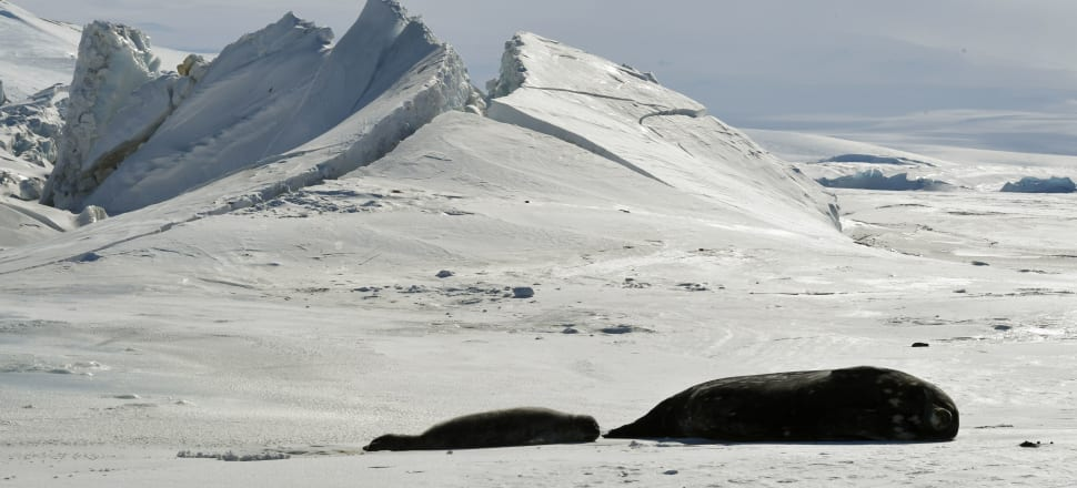 Seals lie on a frozen section of the Ross Sea, in the area of New Zealand's claim under the Antarctic Treaty. Photo: AFP/Getty Images