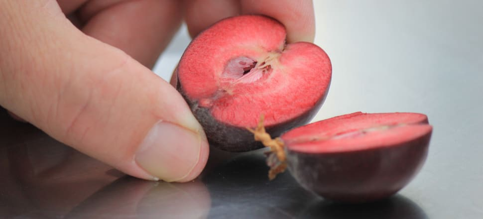 Red-fleshed genetically-edited apples are being developed in an Auckland glasshouse. The pictured apple is about two months away from growing to full size. Photo: Farah Hancock