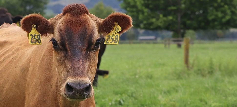 New Zealand has too many cows for a pasture-based system. Photo: Lynn Grieveson