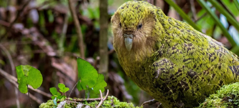 The kākāpō's genome has been deemed a taonga that should stay within NZ borders by agreement between DoC and Ngai Tahu. Photo: Jake Osborne