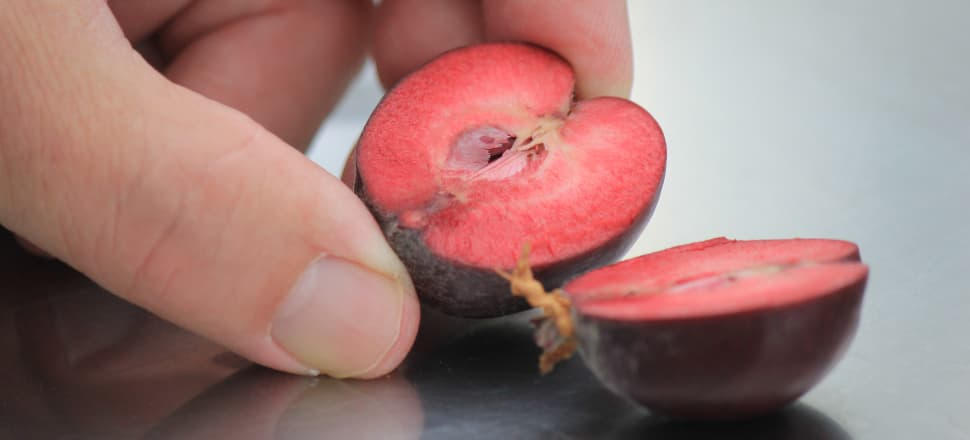 Red-fleshed apples are being developed in a Mount Albert glasshouse. The pictured apple is about two-months away from growing to full size. Photo: Farah Hancock