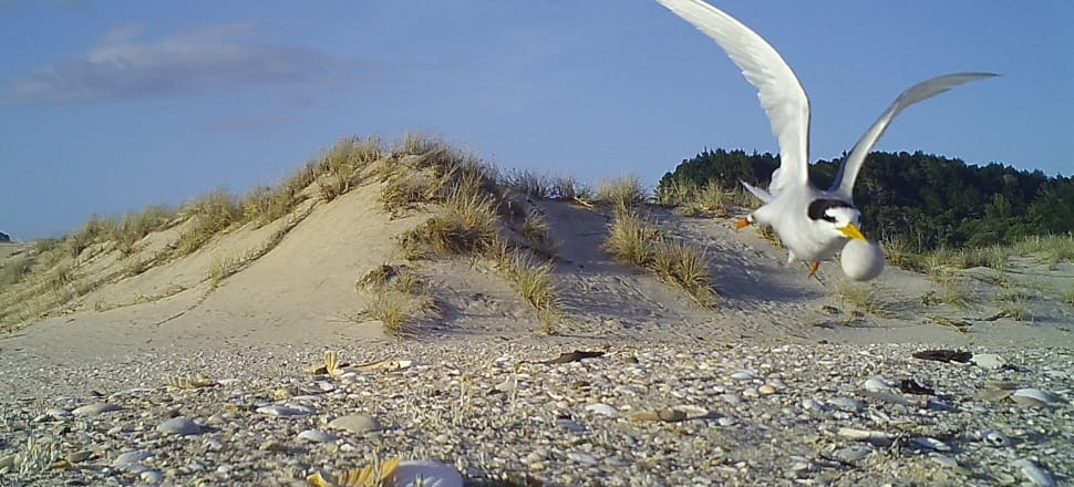 Concerns over the fairy tern have prompted the Department of Conservation to re-establish a specific recovery group. Photo: DOC