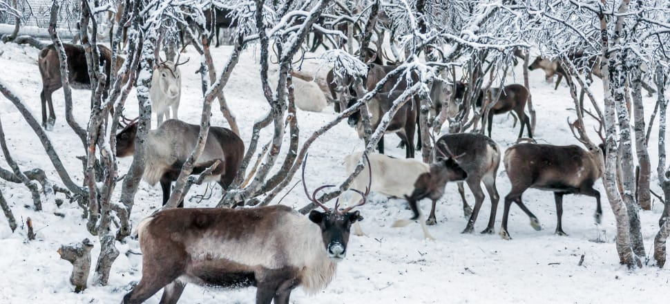 """Zombie"" anthrax was spread by Siberia's melting permafrost exposing an infected reindeer corpse. Several people and reindeer were infected in 2016. Photo: Getty Images"