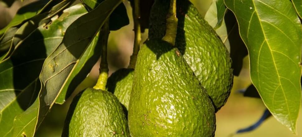 The popularity of the avocado is such it has come to be known as 'green gold'. Photo: Creative Commons/Pixabay/Sandid