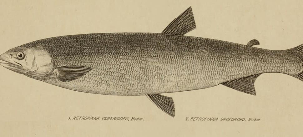 The now extinct grayling. Image: Public domain