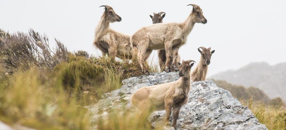 The Department of Conservation is under pressure from hunting groups over tahr numbers. Photo: Dylan Higgison