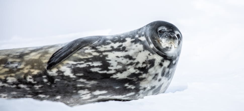 "The ""crazy, sonic sounds"" of the Weddell seal feature in every episode of Harry Seagar's podcast, Antarctica Unfrozen. Photo: Harry Seagar."