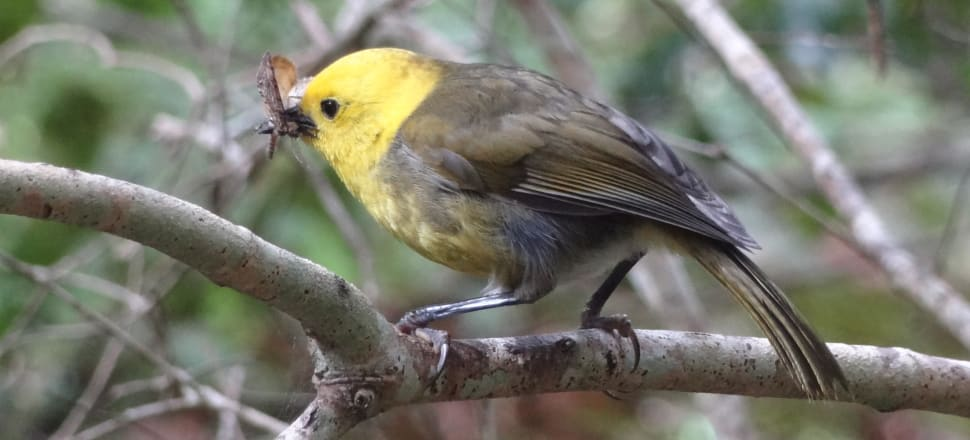 For the first time in decades, mohua are the most commonly heard bird in the Landsborough Valley. Photo: Leon Berard