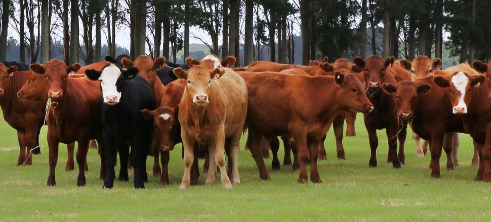 Pastoral agriculture lobbyists are alarmed at what they consider as an unachievably steep rate of reduction in emissions of methane, a short-lived greenhouse gas that is to be treated separately under the new regime. Photo: Lynn Grieveson.