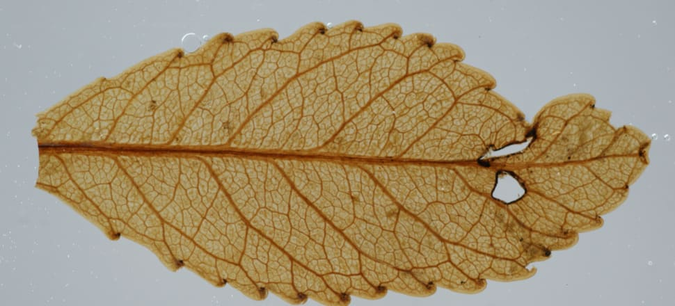 A 23 million-year-old leaf complete with insect damage found in Foulden Maar. Photo: Supplied