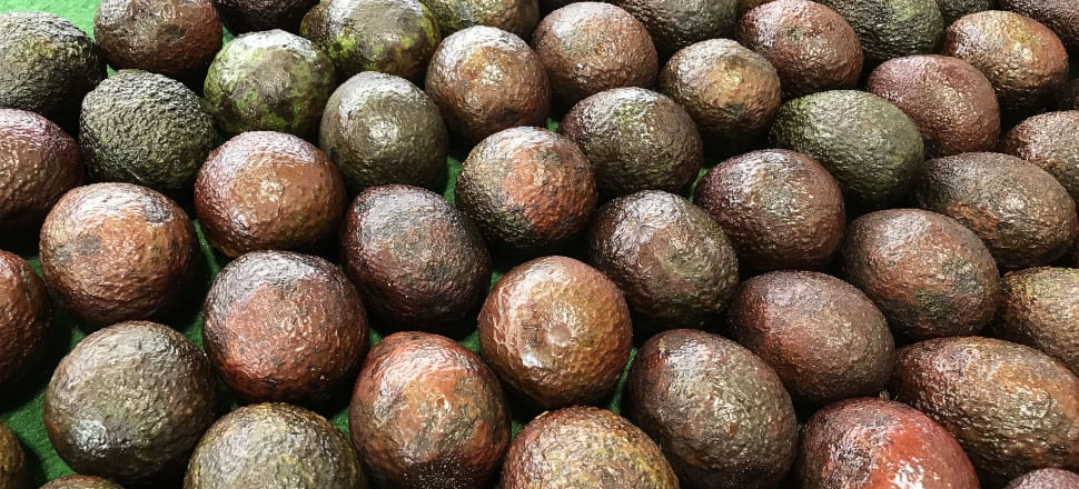 Stats New Zealand says avocado prices are down to $7.50 a kilogram from a record high in May this year of $28. Photo: Lynn Grieveson