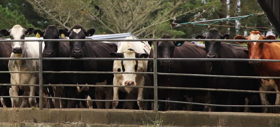 Waikato Regional Council only monitored 26 percent of its thousands of dairy farms in 2017 to 2017. Photo: Lynn Grieveson
