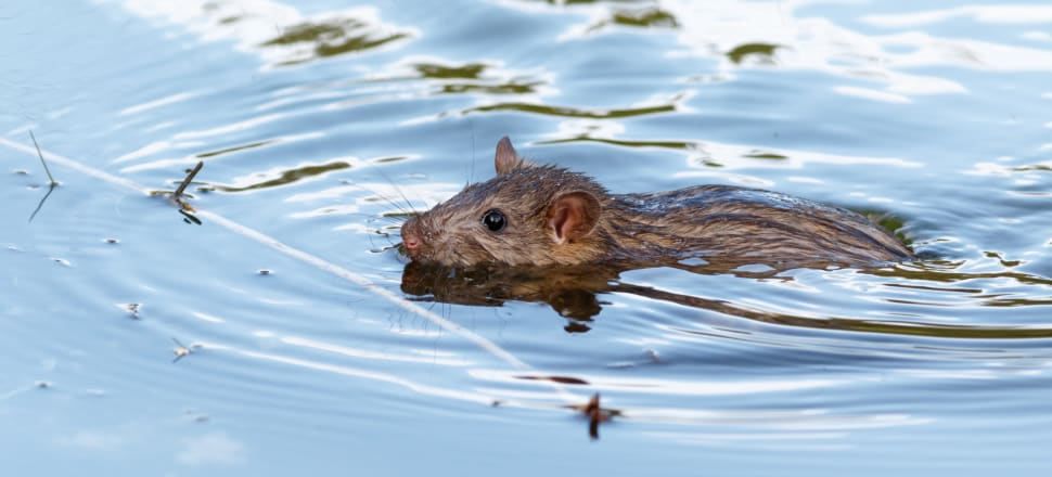 Almost 700 dead rats were found on a Westport beach. The cause of death remains a mystery. Photo: Getty Images
