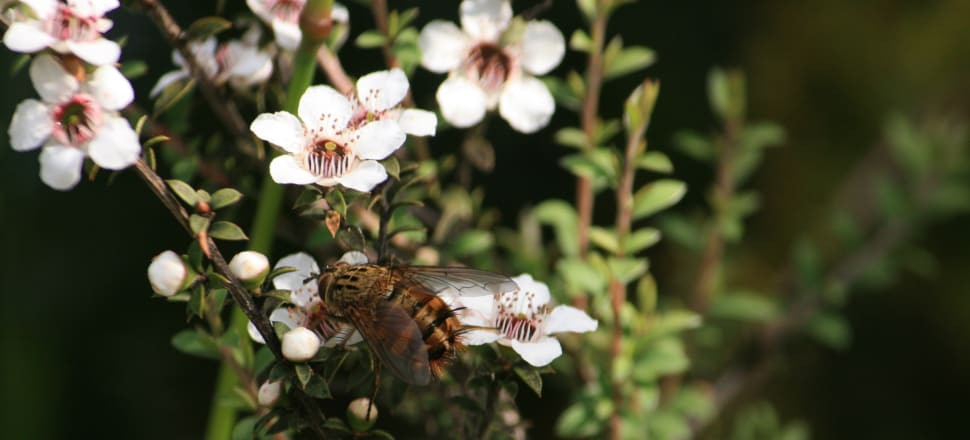 New Zealand's honey industry is clear with its goal to own the Mānuka brand globally. Photo: Getty Images