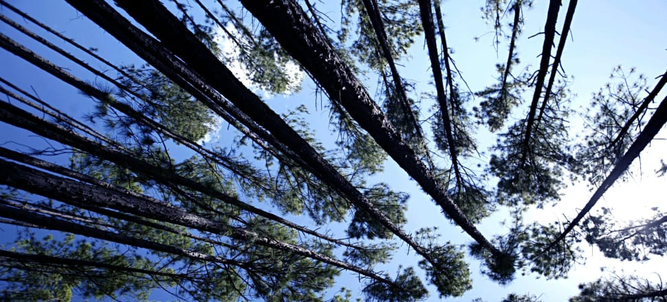 Half of the Government's One Billion trees will be replanted pine forest. How many of the rest will be native species is unknown. Photo: Getty Images