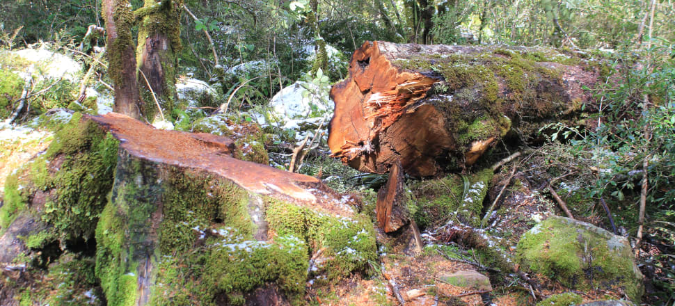 A beech tree felled in the Bealey Valley, Arthur's Pass National Park. Photo: Mike Harding