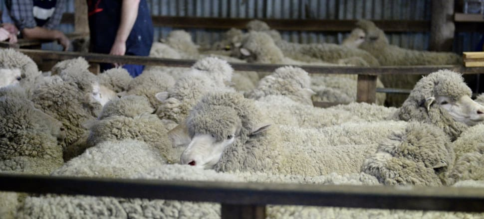 Retailers cut using wool from mulesed sheep
