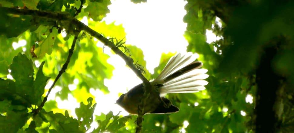 Piwakawaka (fantail). Photo: Suzanne McFadden