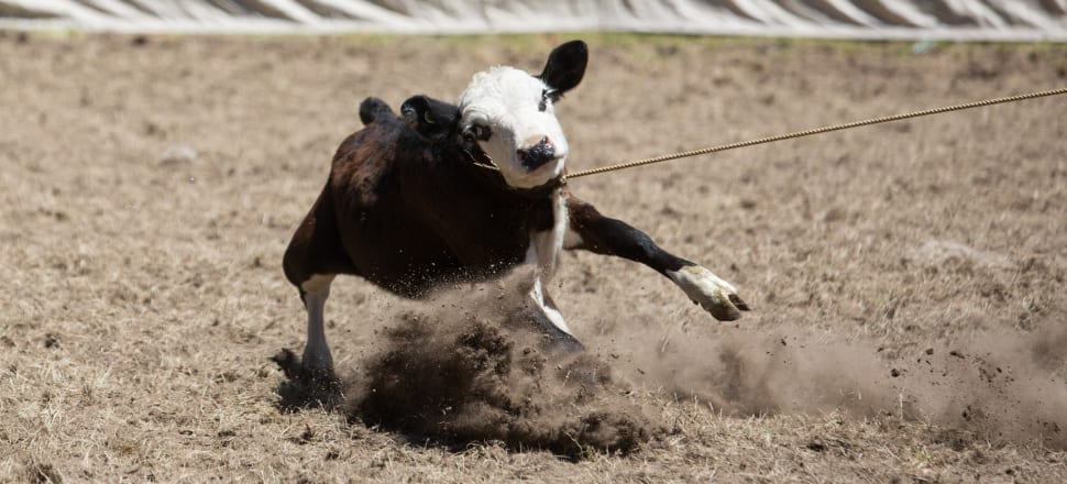 Before the 2014 election, Labour supported a ban on the most harmful aspects of rodeo, which never came to fruition. Photo: Supplied/SAFE